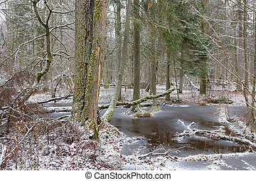 Old natural stand of Bialowieza Forest by water - Broken old...
