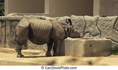 Indian rhinoceros eating. - An Indian rhinoceros...