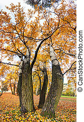 Birch tree as vertical panorama at autumn