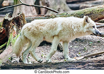 Gray wolf canis lupus in its natural habitat