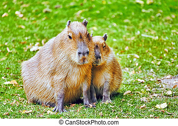 Cute pig water( capybara) in their natural habitat in the...