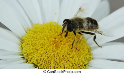 Bee On A Flower - Bee collects pollen on a flower