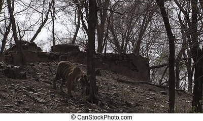 Bengal tiger?in dry forest - Bengal tiger?(Panthera tigris...