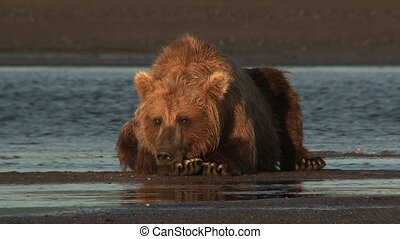 Grizzly Bear relaxing on beach - Grizzly Bear (Ursus arctos...