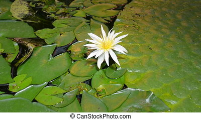 Tropical white lotus flower - European white waterlily,...