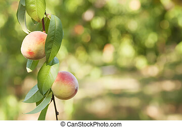two red peach and leaves on a green background