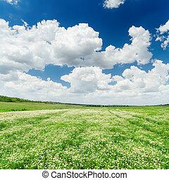 verde, dramático, cielo, pradera,  chamomiles