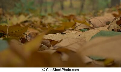 Bug on Autumn Leaves - A tiny blck bug is walking through...