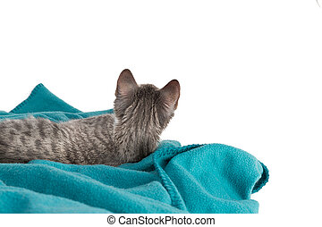 news - sweet little grey tiger cat lying on a turquoise...