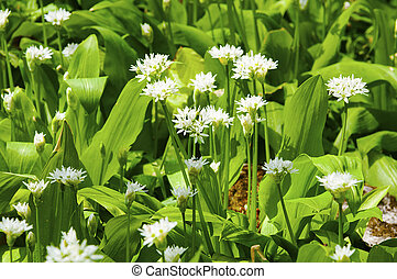 Sunny spring day wild garlic flowers and leaves over...