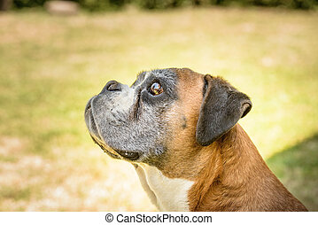 Deutscher boxer - Nice portrait of a Deutscher boxer dog