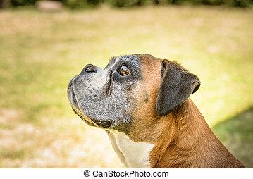 Deutscher boxer - Nice portrait of a Deutscher boxer dog