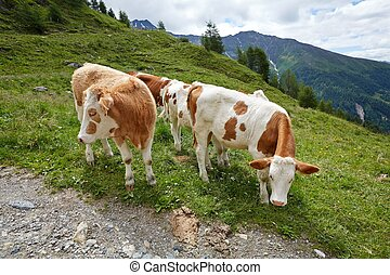 Cows grazing on the hillside - Cows grazing on an alpine...