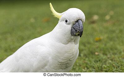 Sulphur-crested Cockatoo Cacatua galerita