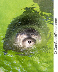 Baby harbour seal Phoca vitulina - Harbour seal Phoca...