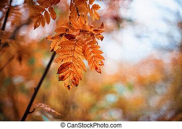 rowan-tree with rowanberry - autumn rowan-tree with...