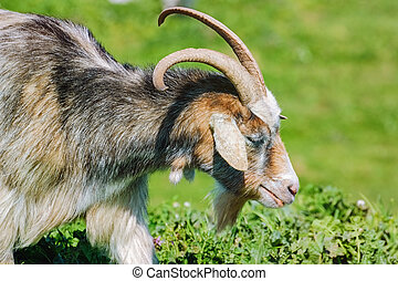 Portrait of Nanny Goat in the Green Pasture