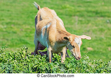 Young Nanny Goat in the Green Pasture