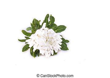 White Callistephus chinensis isolated - White Callistephus...