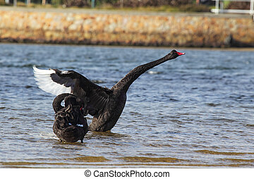 Black Swans (Cygnus atratus) at the shore of Lake King in...