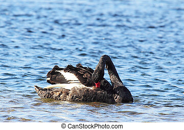 Black Swan (Cygnus atratus) swimming on Lake King in Lakes...