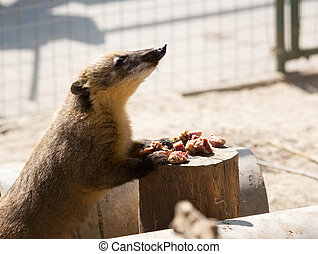 White-nosed Coati Nasua narica eating meat