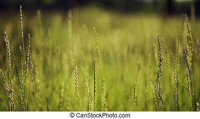 Green Grass, Windy - Green grass at windy summer day