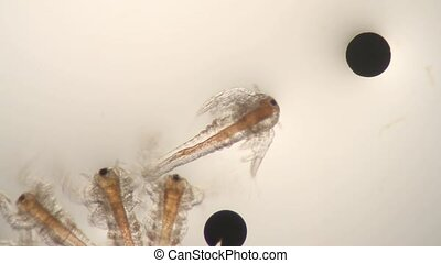Brine Shrimp - Microscope 40x view of brine shrimp with eggs...
