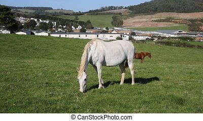 White pony grazing green field - White pony grazing in green...