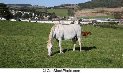 White pony grazing green field - White pony grazing in green...