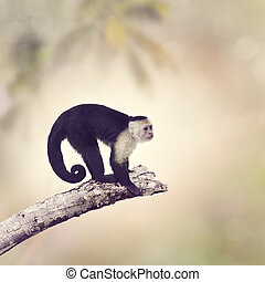White Throated Capuchin Monkey on a Branch