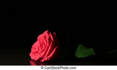 Rose falls on black background Slow motion - Valentines Day...