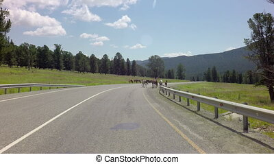Horses grazing near the road Chuysky Trakt in the Altai...