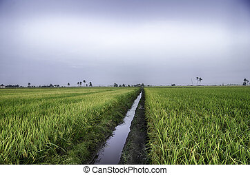 paddy field irrigation with flat sky color