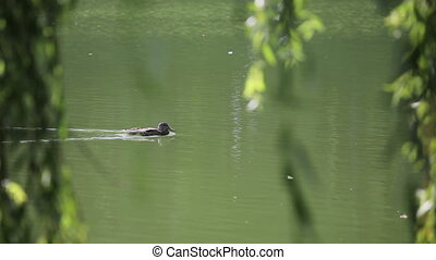 Duck swimming in swamp in sunlight through the leaves....