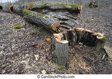 Old oak death - Ruthless deforestation of the old daed oak...