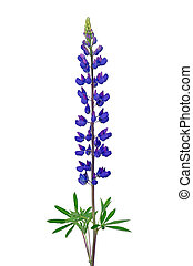 Lupinus flower isolated on a white background