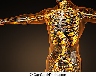Human circulation cardiovascular system with bones in...