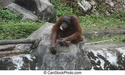 orangutan in the zoo park