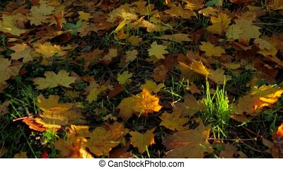 Golden Maple Foliage On The Ground In Autumnal Time - Camera...