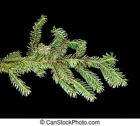Fresh green fir branch