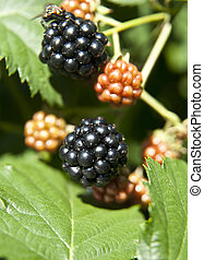 blackberry on a green branch