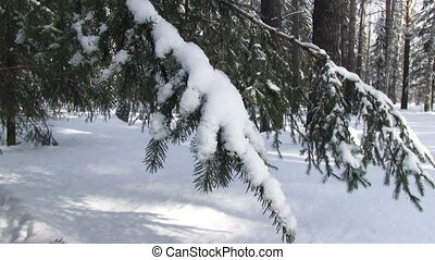 Winter Forest - Winter forest, snow-covered fir branch...
