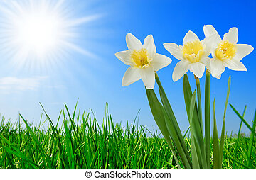 grass and beautiful narcissus - fresh green grass and...