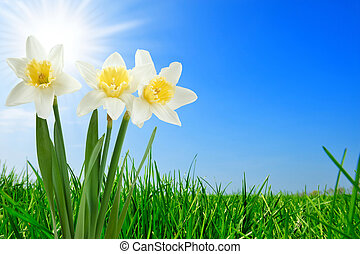 grass and beautiful narcissus