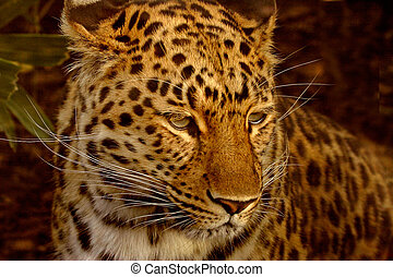 Amur Leopard - The Amur Leopard is an endangered species and...