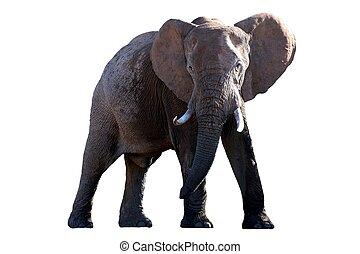 アフリカ,  -, 隔離された, 象