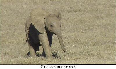 African elephant calf running