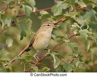 Common Chiffchaff Phylloscopus collybita - Common Chiffchaff...