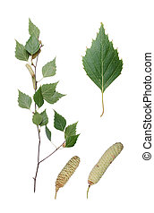 Birch twig, detail of leaf and two aments.